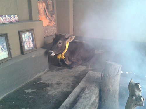 Vamana the Bull Joins the Ashram