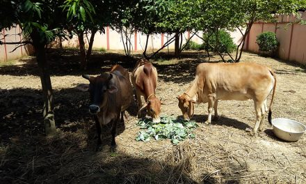 Meet the Cows and Bulls at Our Ashram's Goshala