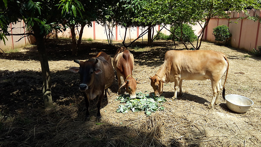 Meet the Cows and Bulls at Our Ashram's Goshala