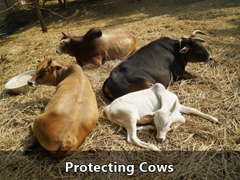 Protecting Cows