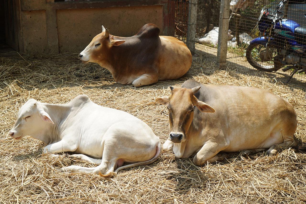 Building a New Goshala for the Ashram Cows